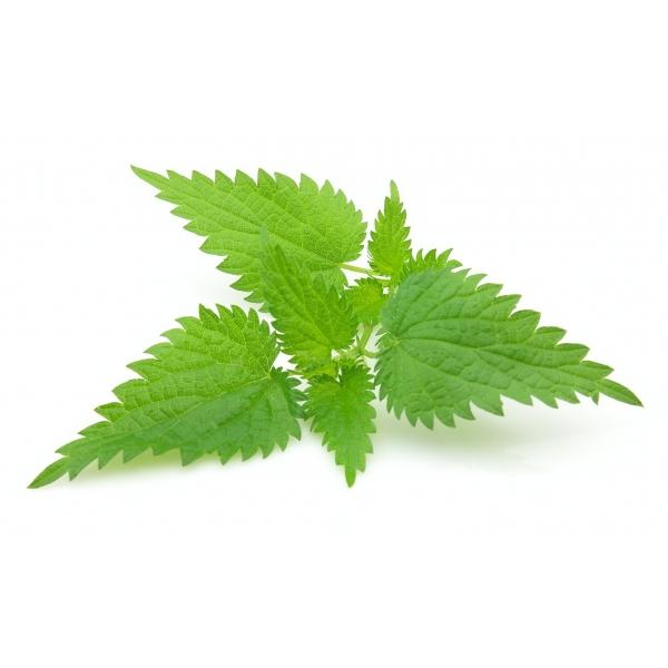 Ortie plante m dicinale puissante nettle powerful for Plante ortie