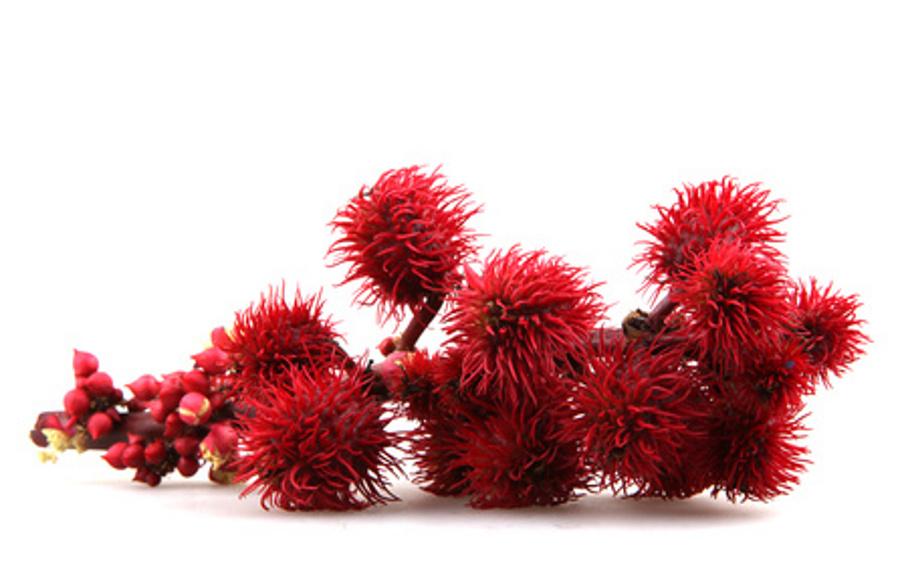 Ricin-plante-cheveux